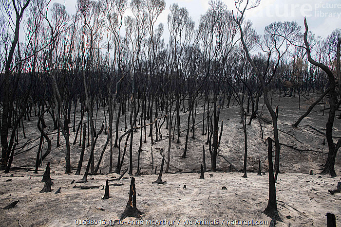Forest surrounding Mallacoota, Australia, destroyed by bushfires. January 2020, Damaged,Burnt,Destruction,Australasia,Australia,Victoria,Natural Disaster,Forest Fire,Forest Fires,Environment,Environmental Issues,Global Warming,Greenhouse Effect,Habitat,Forest,Climate change,, Jo-Anne McArthur / We Animals