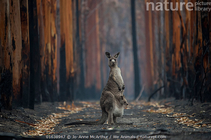 A mother Eastern grey kangaroo (Macropus giganteus) and her joey, surrounded by burnt trees. Survivors of a bushfire in Mallacoota, Australia, January 2020., Animal,Wildlife,Vertebrate,Mammal,Marsupial,Macropod,Eastern grey kangaroo,Animalia,Animal,Wildlife,Vertebrate,Mammalia,Mammal,Marsupialia,Marsupial,Macropodidae,Macropod,Macropus,Macropus giganteus,Eastern grey kangaroo,Kangaroo,Crisis,Danger,Survival,Damaged,Burnt,Destruction,Australasia,Australia,Victoria,Diminishing Perspective,Young Animal,Baby,Baby Mammal,Joey,Joeys,Plant,Tree,Ash,Ashes,Fire,Natural Disaster,Forest Fire,Forest Fires,Emergency,Disaster,Disasters,Environment,Environmental Issues,Global Warming,Greenhouse Effect,Nature,Forest,Family,Mother baby,Mother,Climate change,Direct Gaze,Wildfire,Wild fire,Wild fires,Parent baby,Fire Damage,Bush Fire,Survivor,Catalogue13,Catalogue13, Jo-Anne McArthur / We Animals
