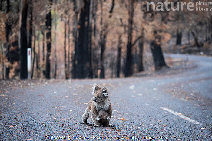 Koala (Phascolarctos cinereus) female and her joey who survived a bushfire cross a road in Mallacoota, Australia, January 2020, Animal,Wildlife,Vertebrate,Mammal,Marsupial,Koala,Animalia,Animal,Wildlife,Vertebrate,Mammalia,Mammal,Marsupialia,Marsupial,Phascolarctos,Phascolarctos cinereus,Koala,Phascolarctos flindersii,Phascolarctos fuscus,Phascolarctos koala,Sadness,Damaged,Burnt,Australasia,Australia,Victoria,Road,Natural Disaster,Forest Fire,Forest Fires,Environment,Environmental Issues,Global Warming,Greenhouse Effect,Family,Mother baby,Mother,Climate change,Parent baby,Phascolarctidae,Catalogue13,Catalogue13, Jo-Anne McArthur / We Animals