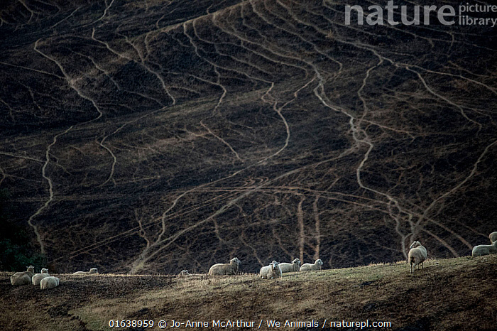 Sheep graze on land scorched by a bushfire in the Buchan area, Australia, January 2020, Damaged,Burnt,Australasia,Australia,Victoria,Animal,Natural Disaster,Forest Fire,Forest Fires,Livestock,Environment,Environmental Issues,Global Warming,Greenhouse Effect,Feeding,Grazing,Domestic animal,Forest,Domestic Sheep,Domesticated,Ovis aries,Climate change,Sheep,Mammal,, Jo-Anne McArthur / We Animals
