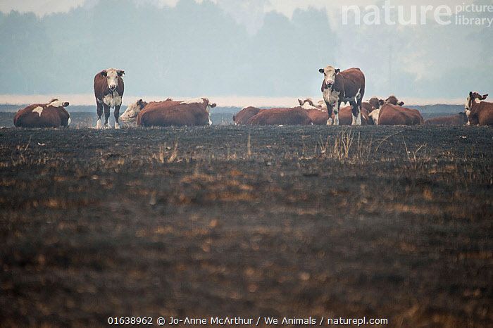 Cows stand on land scorched by bushfire in the Corryong area, Australia. January 2020, Damaged,Burnt,Australasia,Australia,Victoria,Animal,Natural Disaster,Forest Fire,Forest Fires,Livestock,Environment,Environmental Issues,Global Warming,Greenhouse Effect,Domestic animal,Cattle,Forest,Domesticated,Climate change,Mammal,, Jo-Anne McArthur / We Animals