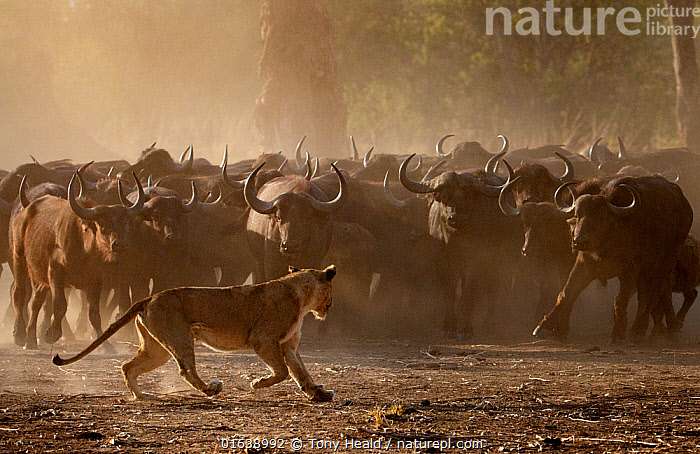 African buffalo (Syncerus caffer) herd showing defensive behaviour as an African lioness (Panthera leo) walks by, Mana Pools National Park, Zimbabwe. September.                                                                    Using termite mound to reach for food                                                                                Mana Pools National Park Zimbabwe Sept 2019                                                                        Lion (Panthera leo)  African Buffalo (Syncerus caffer)  Mana Pools National Park Zimbabwe Sept 2019  ,  Animal,Wildlife,Vertebrate,Mammal,Carnivore,Cat,Big cat,Bovid,Buffalo,African buffalo,Lion,Animalia,Animal,Wildlife,Vertebrate,Mammalia,Mammal,Carnivora,Carnivore,Felidae,Cat,Panthera,Big cat,Panthera leo,Artiodactyla,Even-toed ungulates,Bovidae,Bovid,ruminantia,Ruminant,Syncerus,Buffalo,Syncerus caffer,African buffalo,Group Of Animals,Herd,Group,Africa,Zimbabwe,Southern Africa,Animal Behaviour,Defensive,Reserve,Lion,Mixed species,Behaviour,Protected area,National Park,Defense,Defence,Defending,Mana Pools National Park,Behavioural,Catalogue13,Catalogue13  ,  Tony Heald