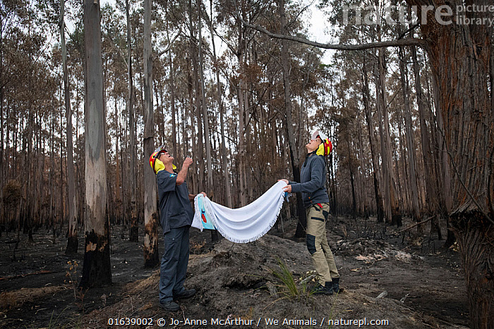 Rescuers hold a blanket under Koala (Phascolarctos cinereus) who has been darted and sedated. Though he was safely brought down by an arborist, it's safest to have a back-up below the tree in case the koala falls. The koala was injured in a bushfire that destroyed this eucalyptus plantation. Australia, January 2020, Animal,Wildlife,Vertebrate,Mammal,Marsupial,Koala,Animalia,Animal,Wildlife,Vertebrate,Mammalia,Mammal,Marsupialia,Marsupial,Phascolarctos,Phascolarctos cinereus,Koala,Phascolarctos flindersii,Phascolarctos fuscus,Phascolarctos koala,People,Rescue,Rescues,Rescuing,Saving,Damaged,Burnt,Australasia,Australia,Victoria,Natural Disaster,Forest Fire,Forest Fires,Environment,Environmental Issues,Global Warming,Greenhouse Effect,Forest,Climate change,Phascolarctidae,, Jo-Anne McArthur / We Animals