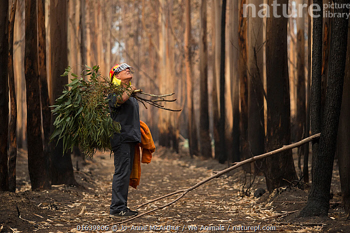 Veterinarian Chris Barton of 'Vets for Compassion'carrying eucalyptus browse into a eucalyptus tree plantation destroyed by bushfire. Surviving koalas perch high in trees. The fresh eucalyptus is tied to the base of trees which lures them down, at which point the rescuers and vets can catch the koala and assess them for injuries. If the animals are kept for rehabilitation, they will later be released to the wild. Australia, 2020, People,Veterinary Surgeon,Rescue,Rescues,Rescuing,Saving,Damaged,Burnt,Destruction,Australasia,Australia,Victoria,Natural Disaster,Forest Fire,Forest Fires,Environment,Environmental Issues,Global Warming,Greenhouse Effect,Forest,Climate change,, Jo-Anne McArthur / We Animals