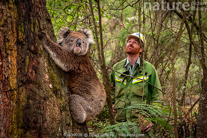 Koala (Phascolarctos cinereus) female released at Log Crossing in the Colquhoun State Forest (Kalimna West, Victoria) and watched on by Senior Forest and Wildlife Officer Lachlan Clarke.? She came in for treatment for burns to her feet and was originally found in Gelantipy, however she was released here as the original habitat was destroyed in the bushfires.  Colquhoun State Forest, Victoria, Australia. January 2020. 