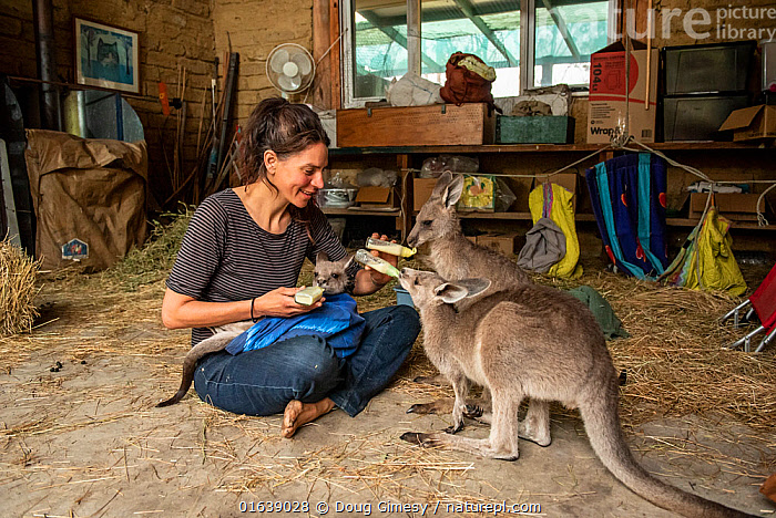 Rena Gaborov feeding some of her eastern grey kangaroo (Macropus giganteus) orphans in her mother's shed. Rena and her partner Joseph had to evacuate their wildlife (wombats, possums and kangaroos) from their home and wildlife shelter in Goongerah (Victoria) when bushfires threatened and then destroyed it in December 2019. They are now living at Rena's mother house in Sarsfield, which was also nearly destroyed in the fires. They plan to move back and rebuild their home and wildlife shelter when the roads are open again. Sarsfield, Victoria, Australia January 2020. Editorial use only, Animal,Wildlife,Vertebrate,Mammal,Marsupial,Macropod,Eastern grey kangaroo,Animalia,Animal,Wildlife,Vertebrate,Mammalia,Mammal,Marsupialia,Marsupial,Macropodidae,Macropod,Macropus,Macropus giganteus,Eastern grey kangaroo,Kangaroo,People,Woman,Care,Caring,Rescue,Rescues,Rescuing,Saving,Australasia,Australia,Victoria,Young Animal,Fire,Natural Disaster,Forest Fire,Forest Fires,Indoors,Environment,Environmental Issues,Global Warming,Greenhouse Effect,Conservation,Animal rehabilitation,Rehabilitation,Climate change,Wildlife conservation,Wildfire,Wild fire,Wild fires,Animal orphan,Orphan,Bush Fire,, Doug Gimesy