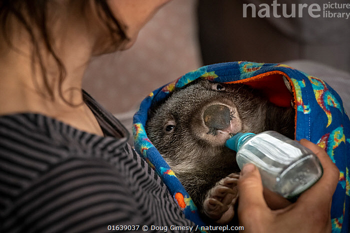 Wombat (Vombatus ursinus) male is bottle fed by Rena Gaborov - wildlife rescuer and carer. Rena and her partner Joseph had to evacuate their wildlife (wombats, possums and kangaroos) from their home and wildlife shelter in Goongerah (Victoria) when bushfires threatened and then destroyed it in December 2019. They are now living at Rena's mother house in Sarsfield, which was also nearly destroyed in the fires. They plan to move back and rebuild their home and wildlife shelter when the roads are open again. Sarsfield, Victoria, Australia January 2020. Editorial use only, Animal,Wildlife,Vertebrate,Mammal,Marsupial,Wombat,Common wombat,Animalia,Animal,Wildlife,Vertebrate,Mammalia,Mammal,Marsupialia,Marsupial,Vombatidae,Wombat,Vombatus,Vombatus ursinus,Common wombat,Vombatus fossor,Vombatus fuscus,Vombatus wombat,People,Care,Caring,Rescue,Rescues,Rescuing,Saving,Australasia,Australia,Victoria,Fire,Natural Disaster,Forest Fire,Forest Fires,Environment,Environmental Issues,Global Warming,Greenhouse Effect,Conservation,Animal rehabilitation,Rehabilitation,Climate change,Wildlife conservation,Wildfire,Wild fire,Wild fires,Bush Fire,Bottle Feeding,, Doug Gimesy