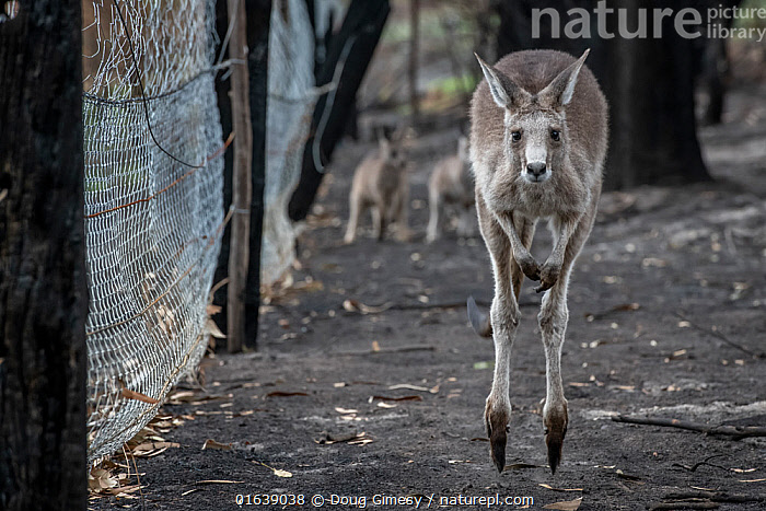 Orphaned Eastern grey kangaroos (Macropus giganteus) in the burnt-out yard at wildlife rescuer and carer Rena Gaborov mother's property at Sarsfield. Rena and her partner Joseph had to evacuate their wildlife (wombats, possums and kangaroos) from their home and wildlife shelter in Goongerah (Victoria) when bushfires threatened and then destroyed it in December 2019. They are now living at Rena's mother house in Sarsfield, which was also nearly destroyed in the fires. They plan to move back and rebuild their home and wildlife shelter when the roads are open again. Sarsfield, Victoria, Australia.  January, 2020, Animal,Wildlife,Vertebrate,Mammal,Marsupial,Macropod,Eastern grey kangaroo,Animalia,Animal,Wildlife,Vertebrate,Mammalia,Mammal,Marsupialia,Marsupial,Macropodidae,Macropod,Macropus,Macropus giganteus,Eastern grey kangaroo,Kangaroo,Rescue,Rescues,Rescuing,Saving,Australasia,Australia,Victoria,Young Animal,Fire,Natural Disaster,Forest Fire,Forest Fires,Environment,Environmental Issues,Global Warming,Greenhouse Effect,Conservation,Animal rehabilitation,Rehabilitation,Climate change,Wildlife conservation,Wildfire,Wild fire,Wild fires,Animal orphan,Orphan,Bush Fire,Enclosure,, Doug Gimesy