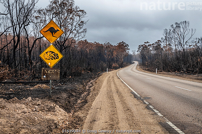 Burnt out watch out for wildlife sign and burnt trees on the Bruthen-Buchan Road, South Buchan. This area was burnt during the November /Dec 2019 fires.? Victoria, Australia. January, 2020, Damaged,Burnt,Australasia,Australia,Victoria,Information,Road,Fire,Natural Disaster,Forest Fire,Forest Fires,Environment,Environmental Issues,Global Warming,Greenhouse Effect,Climate change,Wildfire,Wild fire,Wild fires,Bush Fire,, Doug Gimesy