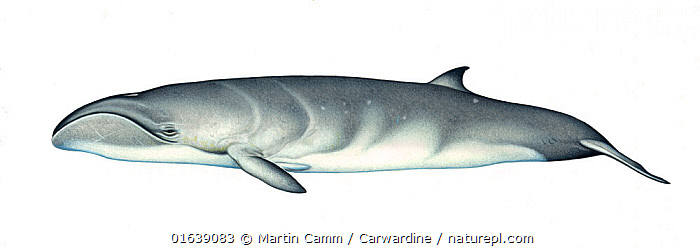 Pygmy right whale (Caperea marginata) adult     No more than 15 illustrations by Martin Camm, Rebecca Robinson and/or Toni Llobet to be used in a single project or book edition, except by prior written agreement from Mark Carwardine.  ,  Animal,Wildlife,Vertebrate,Mammal,Ceteacean,Right whale,Pygmy right whale,Animalia,Animal,Wildlife,Vertebrate,Mammalia,Mammal,Cetacea,Ceteacean,Neobalaenidae,Right whale,Baleen whale,Mysteceti,Caperea,Caperea marginata,Pygmy right whale,Caperea antipodarum,Balaena marginata,Cutout,Plain Background,White Background,Illustration,Marine  ,  Martin Camm / Carwardine