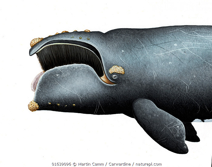 North Pacific right whale (Eubalaena japonica)adult open mouth showing baleen and callosities     No more than 15 illustrations by Martin Camm, Rebecca Robinson and/or Toni Llobet to be used in a single project or book edition, except by prior written agreement from Mark Carwardine.  ,  Animal,Animalia,Balaenidae,Baleen whale,Cetacea,cetacean,Cutout,Endangered,Endangered species,Eubalaena,Eubalaena japonica,Eubalaena sieboldii,Illustration,Mammal,Mammalia,Marine,Mysteceti,North pacific right whale,Plain Background,Right whales,threatened,Vertebrate,White Background,Wildlife  ,  Martin Camm / Carwardine