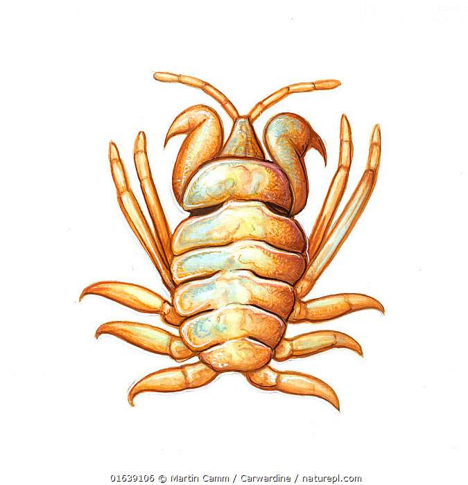 Whale louse (Cyamus gracilis) commonly found on North Atlantic right whale (Eubalaena glacialis)     No more than 15 illustrations by Martin Camm, Rebecca Robinson and/or Toni Llobet to be used in a single project or book edition, except by prior written agreement from Mark Carwardine.  ,  Animal,Animalia,Balaenidae,Baleen whale,Cetacea,cetacean,Cutout,Eubalaena,Eubalaena glacialis,Illustration,Mammal,Mammalia,Marine,Mysteceti,Plain Background,Right whales,Vertebrate,White Background,Wildlife  ,  Martin Camm / Carwardine