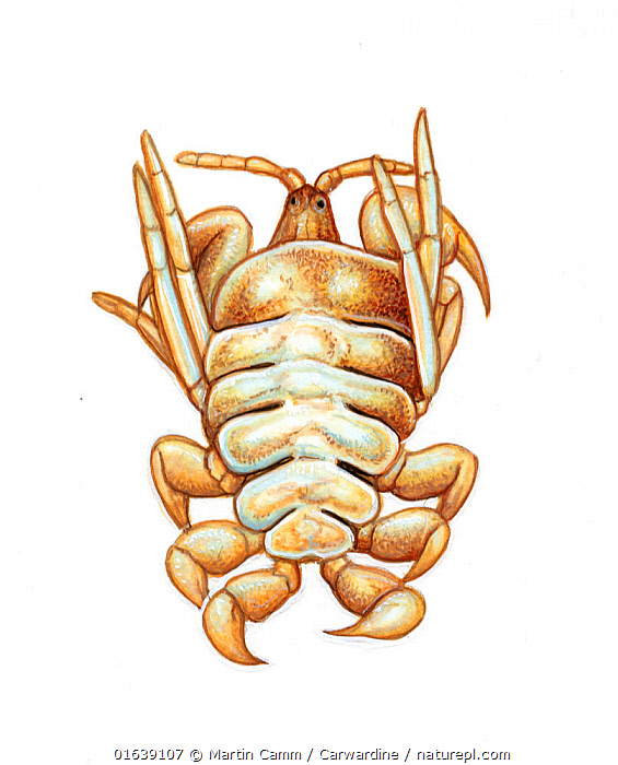 Whale louse (Cyamus ovalis) commonly found on 