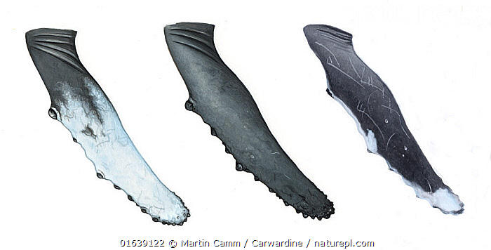 Humpback whale (Megaptera novaeangliae)adult flipper or pectoral fin comparisonsNorth Atlantic / North Pacific type 1 (left) - North Pacific type 2 (middle) - Western Australia (right)     No more than 15 illustrations by Martin Camm, Rebecca Robinson and/or Toni Llobet to be used in a single project or book edition, except by prior written agreement from Mark Carwardine.  ,  Animal,Animalia,Balaenopteridae,Baleen whale,Cetacea,cetacean,Cutout,Hump Whale,Humpback Whale,Hunchbacked Whale,Illustration,Mammal,Mammalia,Marine,Megaptera,Megaptera lalandii,Megaptera longimana,Megaptera nodosa,Megaptera novaeangliae,Plain Background,Vertebrate,White Background,Wildlife  ,  Martin Camm / Carwardine