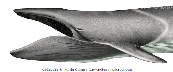 Fin whale (Balaenoptera physalus) adult mouth open showing baleen plates     No more than 15 illustrations by Martin Camm, Rebecca Robinson and/or Toni Llobet to be used in a single project or book edition, except by prior written agreement from Mark Carwardine.  ,  Animal,Wildlife,Vertebrate,Mammal,Ceteacean,Fin Whale,Baleen whale,Animalia,Animal,Wildlife,Vertebrate,Mammalia,Mammal,Cetacea,Ceteacean,Balaenopteridae,Balaenoptera,Balaenoptera physalus,Fin Whale,Common Rorqual,Finback,Fin-backed Whale,Finner,Herring Whale,Razorback,Cutout,Plain Background,White Background,Illustration,Baleen whale,Marine,Endangered species,threatened,Endangered  ,  Martin Camm / Carwardine