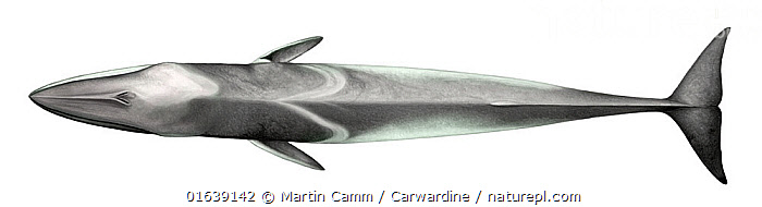 Fin whale (Balaenoptera physalus) adult upperside     No more than 15 illustrations by Martin Camm, Rebecca Robinson and/or Toni Llobet to be used in a single project or book edition, except by prior written agreement from Mark Carwardine.  ,  Animal,Wildlife,Vertebrate,Mammal,Ceteacean,Fin Whale,Baleen whale,Animalia,Animal,Wildlife,Vertebrate,Mammalia,Mammal,Cetacea,Ceteacean,Balaenopteridae,Balaenoptera,Balaenoptera physalus,Fin Whale,Common Rorqual,Finback,Fin-backed Whale,Finner,Herring Whale,Razorback,Cutout,Plain Background,White Background,Illustration,Baleen whale,Marine,Endangered species,threatened,Endangered  ,  Martin Camm / Carwardine