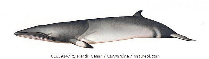 Common minke whale (Balaenoptera acutorostrata)     No more than 15 illustrations by Martin Camm, Rebecca Robinson and/or Toni Llobet to be used in a single project or book edition, except by prior written agreement from Mark Carwardine.  ,  Animal,Animalia,Baby,Baby Mammal,Balaenoptera,Balaenoptera acutorostrata,Balaenoptera davidsoni,Balaenoptera minima,Balaenoptera rostrata,Balaenopteridae,Baleen whale,Calf,Cetacea,cetacean,Common Minke Whale,Cutout,Dwarf Minke Whale,Illustration,Lesser Rorqual,Little Piked Whale,Mammal,Mammalia,Marine,Minke Whale,Plain Background,Vertebrate,White Background,Wildlife,Young Animal  ,  Martin Camm / Carwardine