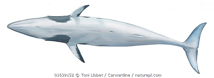 Common minke whale (Balaenoptera acutorostrata) adult dwarf underside     No more than 15 illustrations by Martin Camm, Rebecca Robinson and/or Toni Llobet to be used in a single project or book edition, except by prior written agreement from Mark Carwardine.  ,  Animal,Wildlife,Vertebrate,Mammal,Ceteacean,Common Minke Whale,Baleen whale,Animalia,Animal,Wildlife,Vertebrate,Mammalia,Mammal,Cetacea,Ceteacean,Balaenopteridae,Balaenoptera,Balaenoptera acutorostrata,Common Minke Whale,Dwarf Minke Whale,Lesser Rorqual,Little Piked Whale,Minke Whale,Balaenoptera davidsoni,Balaenoptera minima,Balaenoptera rostrata,Cutout,Plain Background,White Background,Illustration,Baleen whale,Marine,  ,  Toni Llobet / Carwardine