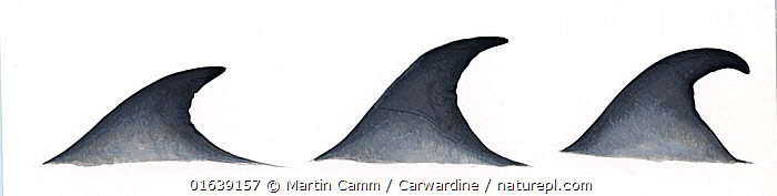 Bryde's whale (Balaenoptera edeni) Dorsal fin variations     No more than 15 illustrations by Martin Camm, Rebecca Robinson and/or Toni Llobet to be used in a single project or book edition, except by prior written agreement from Mark Carwardine.  ,  Animal,Wildlife,Vertebrate,Mammal,Ceteacean,Baleen whale,Animalia,Animal,Wildlife,Vertebrate,Mammalia,Mammal,Cetacea,Ceteacean,Balaenopteridae,Balaenoptera,Balaenoptera edeni,Eden&#39,s Whale,Cutout,Plain Background,White Background,Illustration,Baleen whale,Marine,  ,  Martin Camm / Carwardine