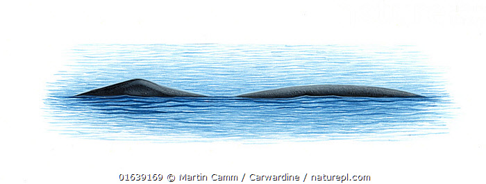 Bowhead whale (Balaena mysticetus) Charactersitic double-humped surface profile     No more than 15 illustrations by Martin Camm, Rebecca Robinson and/or Toni Llobet to be used in a single project or book edition, except by prior written agreement from Mark Carwardine.  ,  Animal,Wildlife,Vertebrate,Mammal,Ceteacean,Bowhead,Animalia,Animal,Wildlife,Vertebrate,Mammalia,Mammal,Cetacea,Ceteacean,Balaenidae,Baleen whale,Mysteceti,Balaena,Balaena mysticetus,Bowhead,Bowhead Whale,Cutout,Plain Background,White Background,Illustration,Marine  ,  Martin Camm / Carwardine