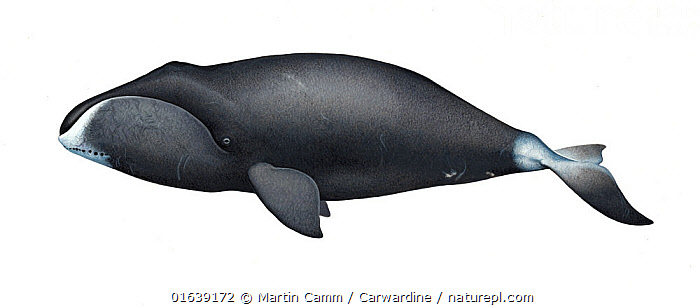 Bowhead whale (Balaena mysticetus) adult     No more than 15 illustrations by Martin Camm, Rebecca Robinson and/or Toni Llobet to be used in a single project or book edition, except by prior written agreement from Mark Carwardine.  ,  Animal,Wildlife,Vertebrate,Mammal,Ceteacean,Bowhead,Animalia,Animal,Wildlife,Vertebrate,Mammalia,Mammal,Cetacea,Ceteacean,Balaenidae,Baleen whale,Mysteceti,Balaena,Balaena mysticetus,Bowhead,Bowhead Whale,Cutout,Plain Background,White Background,Illustration,Marine  ,  Martin Camm / Carwardine