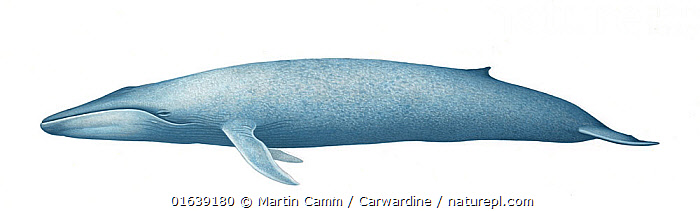 Blue whale (Balaenoptera musculus) adult �true' blue subspecies     No more than 15 illustrations by Martin Camm, Rebecca Robinson and/or Toni Llobet to be used in a single project or book edition, except by prior written agreement from Mark Carwardine.  ,  Animal,Wildlife,Vertebrate,Mammal,Ceteacean,Blue Whale,Baleen whale,Animalia,Animal,Wildlife,Vertebrate,Mammalia,Mammal,Cetacea,Ceteacean,Balaenopteridae,Balaenoptera,Balaenoptera musculus,Blue Whale,Balaenoptera sulfurous,Cutout,Plain Background,White Background,Illustration,Baleen whale,Marine,Endangered species,threatened,Endangered  ,  Martin Camm / Carwardine