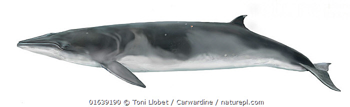 Antarctic minke whale (Balaenoptera bonaerensis)