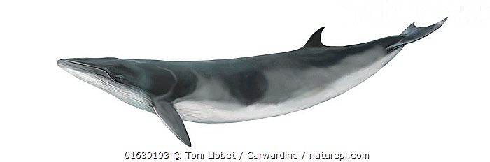 Antarctic minke whale (Balaenoptera bonaerensis) calf     No more than 15 illustrations by Martin Camm, Rebecca Robinson and/or Toni Llobet to be used in a single project or book edition, except by prior written agreement from Mark Carwardine.  ,  Animal,Animalia,Antarctic Minke Whale,Baby,Baby Mammal,Balaenoptera,Balaenoptera bonaerensis,Balaenoptera huttoni,Balaenopteridae,Baleen whale,Calf,Cetacea,cetacean,Cutout,Illustration,Mammal,Mammalia,Marine,Plain Background,Vertebrate,White Background,Wildlife,Young Animal  ,  Toni Llobet / Carwardine