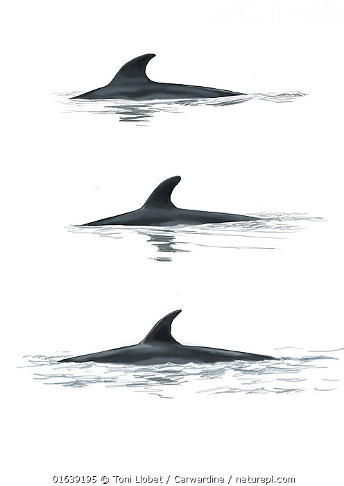 Antarctic minke whale (Balaenoptera bonaerensis)adult dorsal fin variations     No more than 15 illustrations by Martin Camm, Rebecca Robinson and/or Toni Llobet to be used in a single project or book edition, except by prior written agreement from Mark Carwardine.  ,  Animal,Animalia,Antarctic Minke Whale,Balaenoptera,Balaenoptera bonaerensis,Balaenoptera huttoni,Balaenopteridae,Baleen whale,Cetacea,cetacean,Cutout,Illustration,Mammal,Mammalia,Marine,Plain Background,Vertebrate,White Background,Wildlife  ,  Toni Llobet / Carwardine