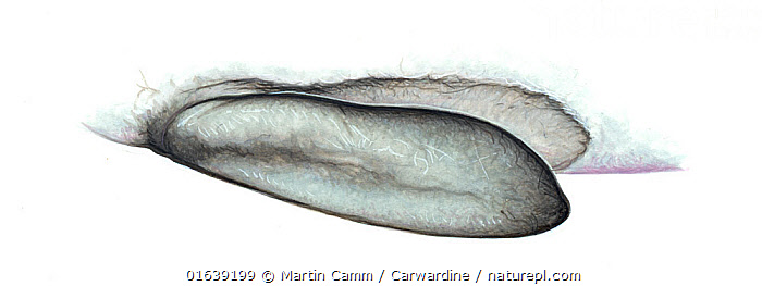 True's beaked whale (Mesoplodon mirus) Flipper pocket     No more than 15 illustrations by Martin Camm, Rebecca Robinson and/or Toni Llobet to be used in a single project or book edition, except by prior written agreement from Mark Carwardine.  ,  Animal,Wildlife,Vertebrate,Mammal,Ceteacean,Beaked whale,Mesoplodont whales,True&#39,s beaked whale,Animalia,Animal,Wildlife,Vertebrate,Mammalia,Mammal,Cetacea,Ceteacean,Ziphiidae,Beaked whale,Odontoceti,Toothed whales,Mesoplodon,Mesoplodont whales,Mesoplodon mirus,True&#39,s beaked whale,Cutout,Plain Background,White Background,Illustration,Marine  ,  Martin Camm / Carwardine