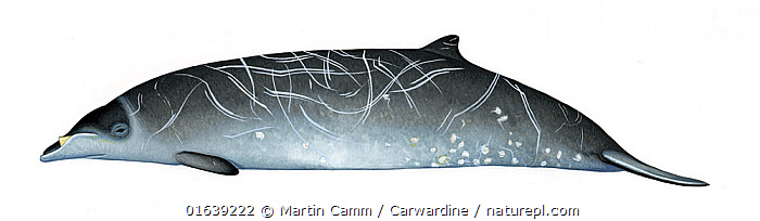 Stejneger's beaked whale (Mesoplodon stejnegeri) adult male     No more than 15 illustrations by Martin Camm, Rebecca Robinson and/or Toni Llobet to be used in a single project or book edition, except by prior written agreement from Mark Carwardine.  ,  Animal,Wildlife,Vertebrate,Mammal,Ceteacean,Beaked whale,Mesoplodont whales,Animalia,Animal,Wildlife,Vertebrate,Mammalia,Mammal,Cetacea,Ceteacean,Ziphiidae,Beaked whale,Odontoceti,Toothed whales,Mesoplodon,Mesoplodont whales,Mesoplodon stejnegeri,Cutout,Plain Background,White Background,Illustration,Male Animal,Marine  ,  Martin Camm / Carwardine