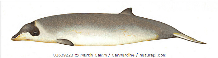 Stejneger's beaked whale (Mesoplodon stejnegeri)