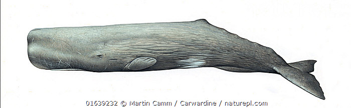 Sperm whale (Physeter macrocephalus) adult male     No more than 15 illustrations by Martin Camm, Rebecca Robinson and/or Toni Llobet to be used in a single project or book edition, except by prior written agreement from Mark Carwardine.  ,  Animal,Wildlife,Vertebrate,Mammal,Ceteacean,Sperm whale,Sperm Whale,Animalia,Animal,Wildlife,Vertebrate,Mammalia,Mammal,Cetacea,Ceteacean,Physeteridae,Sperm whale,Odontoceti,Toothed whale,Physeter,Physeter macrocephalus,Sperm Whale,Cachelot,Pot Whale,Spermacet Whale,Physeter catodon,Physeter australasianus,Physeter australis,Cutout,Plain Background,White Background,Illustration,Male Animal,Marine,Endangered species,threatened,Vulnerable  ,  Martin Camm / Carwardine