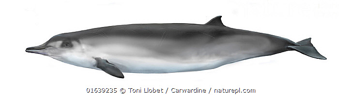 Spade-toothed whale (Mesoplodon traversii)     No more than 15 illustrations by Martin Camm, Rebecca Robinson and/or Toni Llobet to be used in a single project or book edition, except by prior written agreement from Mark Carwardine.  ,  Animal,Animalia,Bahamondi&#39,Beaked whale,Cetacea,cetacean,Cutout,Female animal,Illustration,Mammal,Mammalia,Marine,Mesoplodon,Mesoplodon traversii,Mesoplodont whales,Odontoceti,Plain Background,s Beaked Whale,Spade-toothed Whale,Toothed whales,Traver&#39,Vertebrate,White Background,Wildlife,Ziphiidae  ,  Toni Llobet / Carwardine