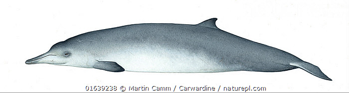 Sowerby's beaked whale (Mesoplodon bidens) adult female     No more than 15 illustrations by Martin Camm, Rebecca Robinson and/or Toni Llobet to be used in a single project or book edition, except by prior written agreement from Mark Carwardine.  ,  Animal,Wildlife,Vertebrate,Mammal,Ceteacean,Beaked whale,Mesoplodont whales,North Atlantic Beaked Whale,Animalia,Animal,Wildlife,Vertebrate,Mammalia,Mammal,Cetacea,Ceteacean,Ziphiidae,Beaked whale,Odontoceti,Toothed whales,Mesoplodon,Mesoplodont whales,Mesoplodon bidens,North Atlantic Beaked Whale,Sowerby&#39,s Beaked Whale,Mesoplodon micropterus,Mesoplodon sowerbensis,Mesoplodon sowerbyi,Cutout,Plain Background,White Background,Illustration,Female animal,Marine  ,  Martin Camm / Carwardine