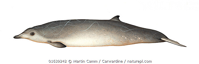 Sowerby's beaked whale (Mesoplodon bidens)