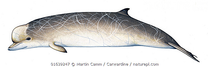 Southern bottlenose whale (Hyperoodon planifrons) Old adult male     No more than 15 illustrations by Martin Camm, Rebecca Robinson and/or Toni Llobet to be used in a single project or book edition, except by prior written agreement from Mark Carwardine.  ,  Animal,Wildlife,Vertebrate,Mammal,Ceteacean,Beaked whale,Bottlenose whales,Flatheaded Bottlenose Whale,Animalia,Animal,Wildlife,Vertebrate,Mammalia,Mammal,Cetacea,Ceteacean,Ziphiidae,Beaked whale,Odontoceti,Toothed whales,Hyperodon,Bottlenose whales,Hyperoodon planifrons,Flatheaded Bottlenose Whale,Southern Bottlenose Whale,Cutout,Plain Background,White Background,Illustration,Male Animal,Marine  ,  Martin Camm / Carwardine