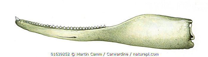 Shepherd's beaked whale (Tasmacetus shepherdi) adult male lower jaw     No more than 15 illustrations by Martin Camm, Rebecca Robinson and/or Toni Llobet to be used in a single project or book edition, except by prior written agreement from Mark Carwardine.  ,  Animal,Wildlife,Vertebrate,Mammal,Ceteacean,Beaked whale,Shepherd&#39,s Beaked Whale,Animalia,Animal,Wildlife,Vertebrate,Mammalia,Mammal,Cetacea,Ceteacean,Ziphiidae,Beaked whale,Odontoceti,Toothed whales,Tasmacetus,Tasmacetus shepherdi,Shepherd&#39,s Beaked Whale,Tasman Beaked Whale,Tasman Whale,Cutout,Plain Background,White Background,Illustration,Male Animal,Marine  ,  Martin Camm / Carwardine