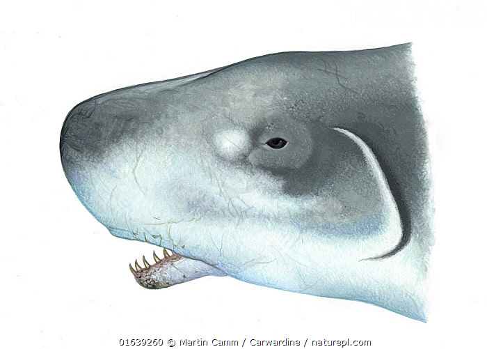 Pygmy sperm whale (Kogia breviceps) adult opern mouth showing underslung lower jaw     No more than 15 illustrations by Martin Camm, Rebecca Robinson and/or Toni Llobet to be used in a single project or book edition, except by prior written agreement from Mark Carwardine.  ,  Animal,Wildlife,Vertebrate,Mammal,Ceteacean,Sperm whale,Pygmy sperm whale,Animalia,Animal,Wildlife,Vertebrate,Mammalia,Mammal,Cetacea,Ceteacean,Physeteridae,Sperm whale,Odontoceti,Toothed whale,Kogia,Kogia breviceps,Pygmy sperm whale,Kogia floweri,Kogia goodei,Kogia grayii,Cutout,Plain Background,White Background,Illustration,Marine  ,  Martin Camm / Carwardine