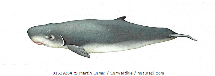 Pygmy sperm whale (Kogia breviceps) adult     No more than 15 illustrations by Martin Camm, Rebecca Robinson and/or Toni Llobet to be used in a single project or book edition, except by prior written agreement from Mark Carwardine.  ,  Animal,Wildlife,Vertebrate,Mammal,Ceteacean,Sperm whale,Pygmy sperm whale,Animalia,Animal,Wildlife,Vertebrate,Mammalia,Mammal,Cetacea,Ceteacean,Physeteridae,Sperm whale,Odontoceti,Toothed whale,Kogia,Kogia breviceps,Pygmy sperm whale,Kogia floweri,Kogia goodei,Kogia grayii,Cutout,Plain Background,White Background,Illustration,Marine  ,  Martin Camm / Carwardine