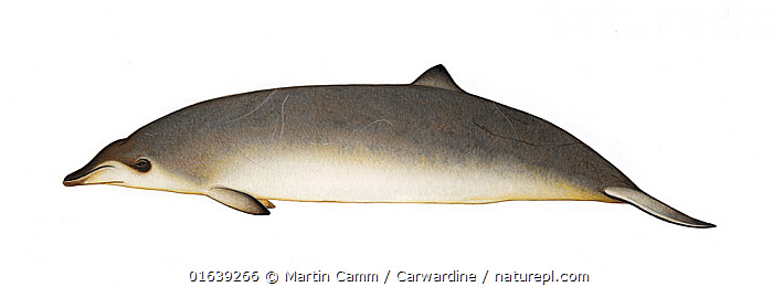 Peruvian beaked whale (Mesoplodon peruvianus) adult female     No more than 15 illustrations by Martin Camm, Rebecca Robinson and/or Toni Llobet to be used in a single project or book edition, except by prior written agreement from Mark Carwardine.  ,  Animal,Wildlife,Vertebrate,Mammal,Ceteacean,Beaked whale,Mesoplodont whales,Lesser Beaked Whale,Animalia,Animal,Wildlife,Vertebrate,Mammalia,Mammal,Cetacea,Ceteacean,Ziphiidae,Beaked whale,Odontoceti,Toothed whales,Mesoplodon,Mesoplodont whales,Mesoplodon peruvianus,Lesser Beaked Whale,Peruvian Beaked Whale,Pygmy Beaked Whale,Cutout,Plain Background,White Background,Illustration,Female animal,Marine  ,  Martin Camm / Carwardine