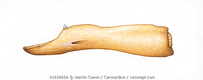 Peruvian beaked whale (Mesoplodon peruvianus) adult male lower jaw     No more than 15 illustrations by Martin Camm, Rebecca Robinson and/or Toni Llobet to be used in a single project or book edition, except by prior written agreement from Mark Carwardine.  ,  Animal,Wildlife,Vertebrate,Mammal,Ceteacean,Beaked whale,Mesoplodont whales,Lesser Beaked Whale,Animalia,Animal,Wildlife,Vertebrate,Mammalia,Mammal,Cetacea,Ceteacean,Ziphiidae,Beaked whale,Odontoceti,Toothed whales,Mesoplodon,Mesoplodont whales,Mesoplodon peruvianus,Lesser Beaked Whale,Peruvian Beaked Whale,Pygmy Beaked Whale,Cutout,Plain Background,White Background,Illustration,Male Animal,Marine  ,  Martin Camm / Carwardine
