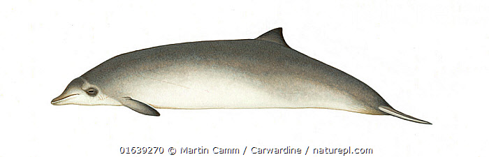 Peruvian beaked whale (Mesoplodon peruvianus) calf     No more than 15 illustrations by Martin Camm, Rebecca Robinson and/or Toni Llobet to be used in a single project or book edition, except by prior written agreement from Mark Carwardine.  ,  Animal,Wildlife,Vertebrate,Mammal,Ceteacean,Beaked whale,Mesoplodont whales,Lesser Beaked Whale,Animalia,Animal,Wildlife,Vertebrate,Mammalia,Mammal,Cetacea,Ceteacean,Ziphiidae,Beaked whale,Odontoceti,Toothed whales,Mesoplodon,Mesoplodont whales,Mesoplodon peruvianus,Lesser Beaked Whale,Peruvian Beaked Whale,Pygmy Beaked Whale,Cutout,Plain Background,White Background,Illustration,Young Animal,Baby,Baby Mammal,Calf,Marine  ,  Martin Camm / Carwardine