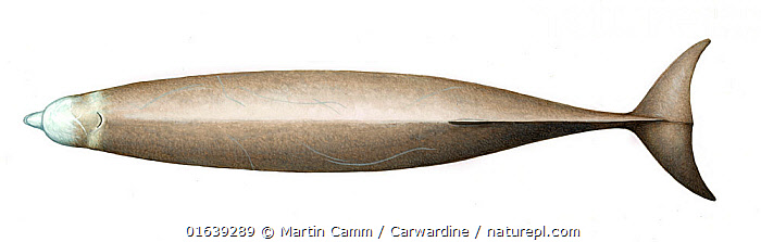 Northern bottlenose whale (Hyperoodon ampullatus)