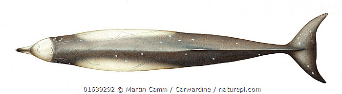 Longman's beaked whale (Indopacetus pacificus) adult upperside     No more than 15 illustrations by Martin Camm, Rebecca Robinson and/or Toni Llobet to be used in a single project or book edition, except by prior written agreement from Mark Carwardine.  ,  Animal,Wildlife,Vertebrate,Mammal,Ceteacean,Beaked whale,Indo-pacific Beaked Whale,Animalia,Animal,Wildlife,Vertebrate,Mammalia,Mammal,Cetacea,Ceteacean,Ziphiidae,Beaked whale,Odontoceti,Toothed whales,Indopacetus,Indopacetus pacificus,Indo-pacific Beaked Whale,Longman&#39,s Beaked Whale,Tropical Bottlenose Whale,Cutout,Plain Background,White Background,Illustration,Marine  ,  Martin Camm / Carwardine