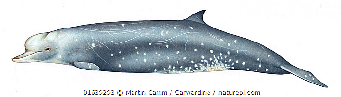 Longman's beaked whale (Indopacetus pacificus) adult male variation     No more than 15 illustrations by Martin Camm, Rebecca Robinson and/or Toni Llobet to be used in a single project or book edition, except by prior written agreement from Mark Carwardine.  ,  Animal,Wildlife,Vertebrate,Mammal,Ceteacean,Beaked whale,Indo-pacific Beaked Whale,Animalia,Animal,Wildlife,Vertebrate,Mammalia,Mammal,Cetacea,Ceteacean,Ziphiidae,Beaked whale,Odontoceti,Toothed whales,Indopacetus,Indopacetus pacificus,Indo-pacific Beaked Whale,Longman&#39,s Beaked Whale,Tropical Bottlenose Whale,Cutout,Plain Background,White Background,Illustration,Male Animal,Marine  ,  Martin Camm / Carwardine