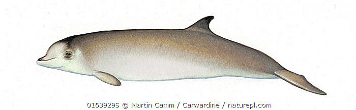 Longman's beaked whale (Indopacetus pacificus) calf     No more than 15 illustrations by Martin Camm, Rebecca Robinson and/or Toni Llobet to be used in a single project or book edition, except by prior written agreement from Mark Carwardine.  ,  Animal,Wildlife,Vertebrate,Mammal,Ceteacean,Beaked whale,Indo-pacific Beaked Whale,Animalia,Animal,Wildlife,Vertebrate,Mammalia,Mammal,Cetacea,Ceteacean,Ziphiidae,Beaked whale,Odontoceti,Toothed whales,Indopacetus,Indopacetus pacificus,Indo-pacific Beaked Whale,Longman&#39,s Beaked Whale,Tropical Bottlenose Whale,Cutout,Plain Background,White Background,Illustration,Young Animal,Baby,Baby Mammal,Calf,Marine  ,  Martin Camm / Carwardine