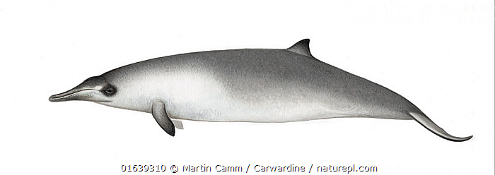 Gray's beaked whale (Mesoplodon grayi) Juvenile     No more than 15 illustrations by Martin Camm, Rebecca Robinson and/or Toni Llobet to be used in a single project or book edition, except by prior written agreement from Mark Carwardine.  ,  Animal,Animalia,Beaked whale,Cetacea,cetacean,Cutout,Gray&#39,Illustration,Mammal,Mammalia,Marine,Mesoplodon,Mesoplodon australis,Mesoplodon grayi,Mesoplodon haasti,Mesoplodont whales,Odontoceti,Plain Background,s Beaked Whale,Southern Beaked Whale,Toothed whales,Vertebrate,White Background,Wildlife,Young Animal,Ziphiidae  ,  Martin Camm / Carwardine