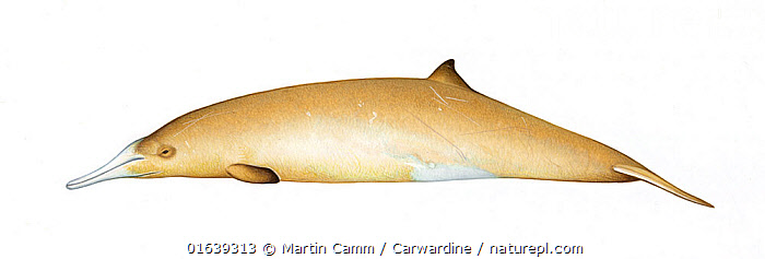 Gray's beaked whale (Mesoplodon grayi) adult female variation     No more than 15 illustrations by Martin Camm, Rebecca Robinson and/or Toni Llobet to be used in a single project or book edition, except by prior written agreement from Mark Carwardine.  ,  Animal,Animalia,Beaked whale,Cetacea,cetacean,Cutout,Female animal,Gray&#39,Illustration,Mammal,Mammalia,Marine,Mesoplodon,Mesoplodon australis,Mesoplodon grayi,Mesoplodon haasti,Mesoplodont whales,Odontoceti,Plain Background,s Beaked Whale,Southern Beaked Whale,Toothed whales,Vertebrate,White Background,Wildlife,Ziphiidae  ,  Martin Camm / Carwardine