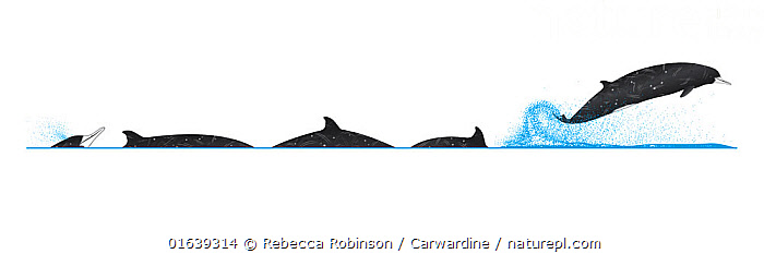 Gray's beaked whale (Mesoplodon grayi)